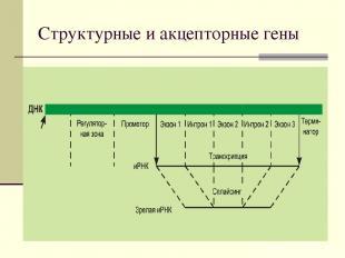 Структурные и акцепторные гены