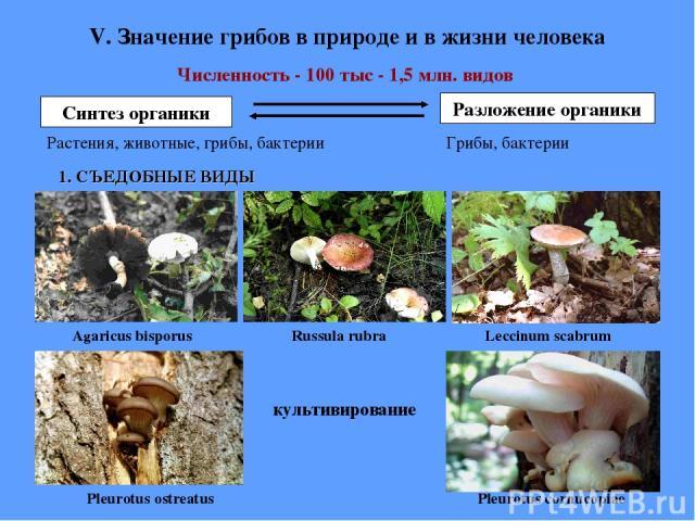 V. Значение грибов в природе и в жизни человека Численность - 100 тыс - 1,5 млн. видов