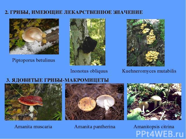 2. ГРИБЫ, ИМЕЮЩИЕ ЛЕКАРСТВЕННОЕ ЗНАЧЕНИЕ Piptoporus betulinus Inonotus obliquus Kuehneromyces mutabilis 3. ЯДОВИТЫЕ ГРИБЫ-МАКРОМИЦЕТЫ Amanita muscaria Amanita pantherina Amanitopsis citrina