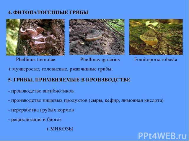 4. ФИТОПАТОГЕННЫЕ ГРИБЫ Phellinus tremulae Phellinus igniarius Fomitoporia robusta + мучнеросые, головневые, ржавчинные грибы.