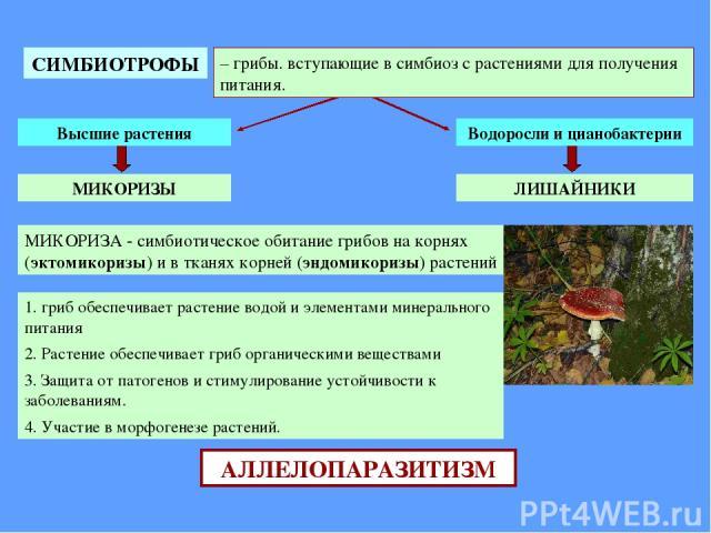 СИМБИОТРОФЫ – грибы. вступающие в симбиоз с растениями для получения питания. Высшие растения Водоросли и цианобактерии ЛИШАЙНИКИ МИКОРИЗЫ МИКОРИЗА - симбиотическое обитание грибов на корнях (эктомикоризы) и в тканях корней (эндомикоризы) растений 1…