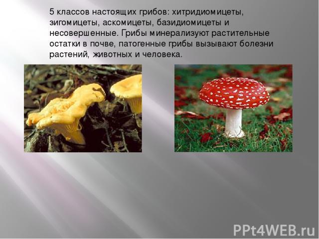 5 классов настоящих грибов: хитридиомицеты, зигомицеты, аскомицеты, базидиомицеты и несовершенные. Грибы минерализуют растительные остатки в почве, патогенные грибы вызывают болезни растений, животных и человека.