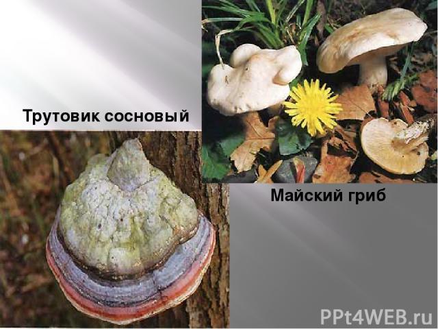 Трутовик сосновый Майский гриб