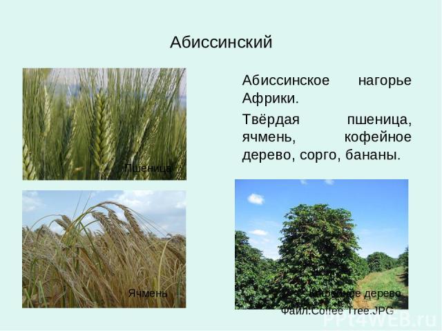 Абиссинский Абиссинское нагорье Африки. Твёрдая пшеница, ячмень, кофейное дерево, сорго, бананы. Пшеница Ячмень Кофейное дерево Файл:Coffee Tree.JPG