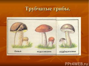 Трубчатые грибы.