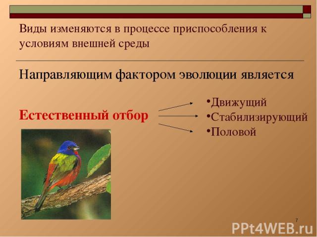* Виды изменяются в процессе приспособления к условиям внешней среды Направляющим фактором эволюции является Естественный отбор Движущий Стабилизирующий Половой