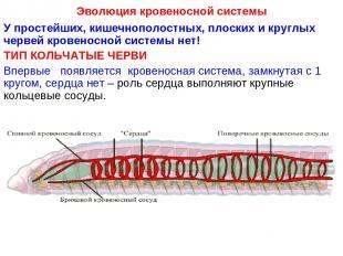 Эволюция кровеносной системы У простейших, кишечнополостных, плоских и круглых ч