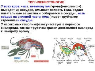 ТИП ЧЛЕНИСТОНОГИЕ У всех кров. сист. незамкнутая (кровь(гемолимфа) выходит из со