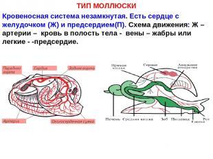 ТИП МОЛЛЮСКИ Кровеносная система незамкнутая. Есть сердце с желудочком (Ж) и пре