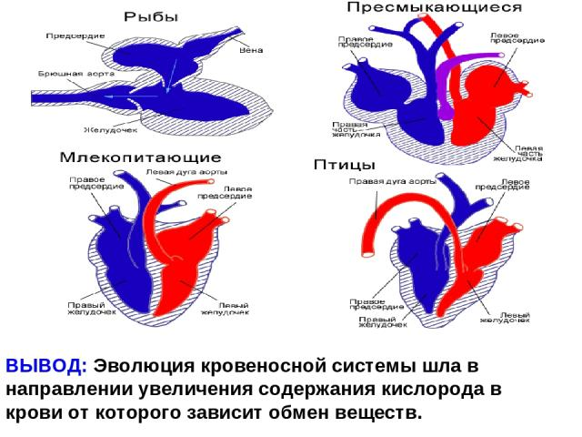 ВЫВОД: Эволюция кровеносной системы шла в направлении увеличения содержания кислорода в крови от которого зависит обмен веществ.