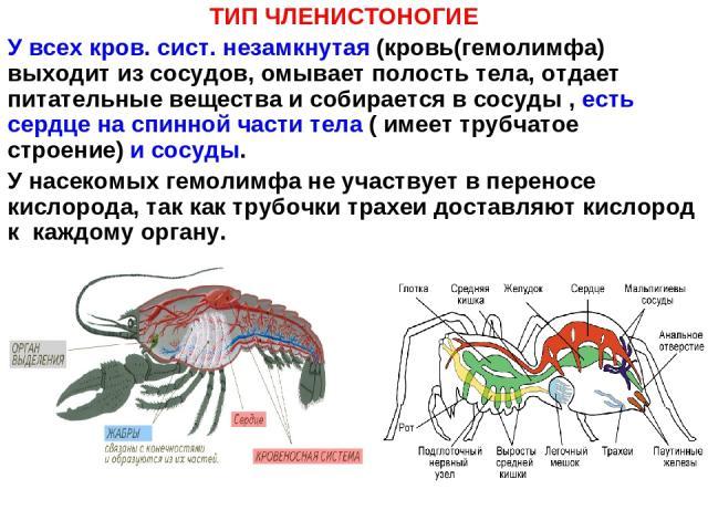 ТИП ЧЛЕНИСТОНОГИЕ У всех кров. сист. незамкнутая (кровь(гемолимфа) выходит из сосудов, омывает полость тела, отдает питательные вещества и собирается в сосуды , есть сердце на спинной части тела ( имеет трубчатое строение) и сосуды. У насекомых гемо…