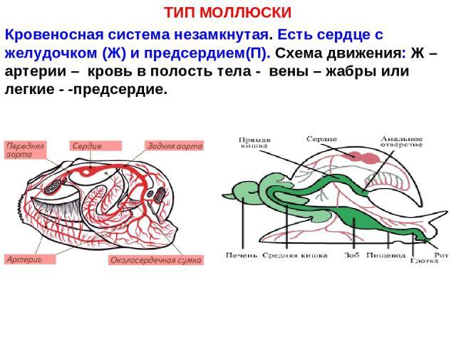 ТИП МОЛЛЮСКИ Кровеносная система незамкнутая. Есть сердце с желудочком (Ж) и предсердием(П). Схема движения: Ж – артерии – кровь в полость тела - вены – жабры или легкие - -предсердие.