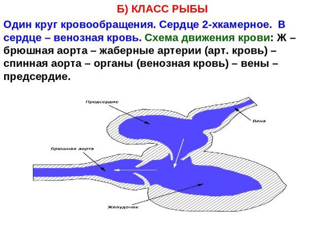 Б) КЛАСС РЫБЫ Один круг кровообращения. Сердце 2-хкамерное. В сердце – венозная кровь. Схема движения крови: Ж – брюшная аорта – жаберные артерии (арт. кровь) – спинная аорта – органы (венозная кровь) – вены – предсердие.