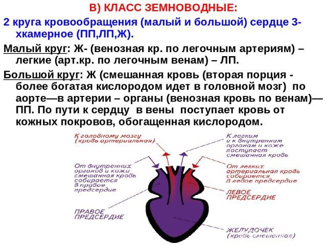 В) КЛАСС ЗЕМНОВОДНЫЕ: 2 круга кровообращения (малый и большой) сердце 3-хкамерное (ПП,ЛП,Ж). Малый круг: Ж- (венозная кр. по легочным артериям) –легкие (арт.кр. по легочным венам) – ЛП. Большой круг: Ж (смешанная кровь (вторая порция - более богатая…
