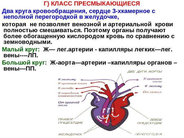 Г) КЛАСС ПРЕСМЫКАЮЩИЕСЯ Два круга кровообращения, сердце 3-хкамерное с неполной перегородкой в желудочке, которая не позволяет венозной и артериальной крови полностью смешиваться. Поэтому органы получают более обогащенную кислородом кровь по сравнен…
