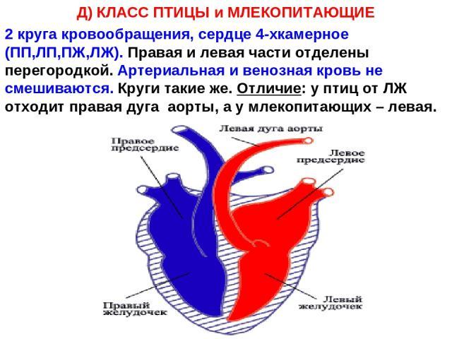 Д) КЛАСС ПТИЦЫ и МЛЕКОПИТАЮЩИЕ 2 круга кровообращения, сердце 4-хкамерное (ПП,ЛП,ПЖ,ЛЖ). Правая и левая части отделены перегородкой. Артериальная и венозная кровь не смешиваются. Круги такие же. Отличие: у птиц от ЛЖ отходит правая дуга аорты, а у м…