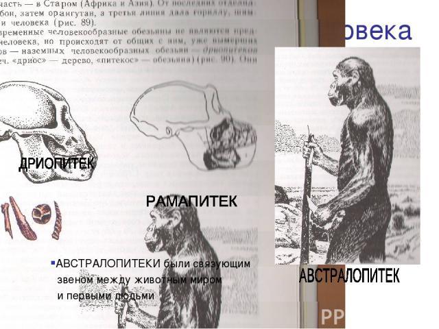 Предшественники человека АВСТРАЛОПИТЕКИ были связующим звеном между животным миром и первыми людьми