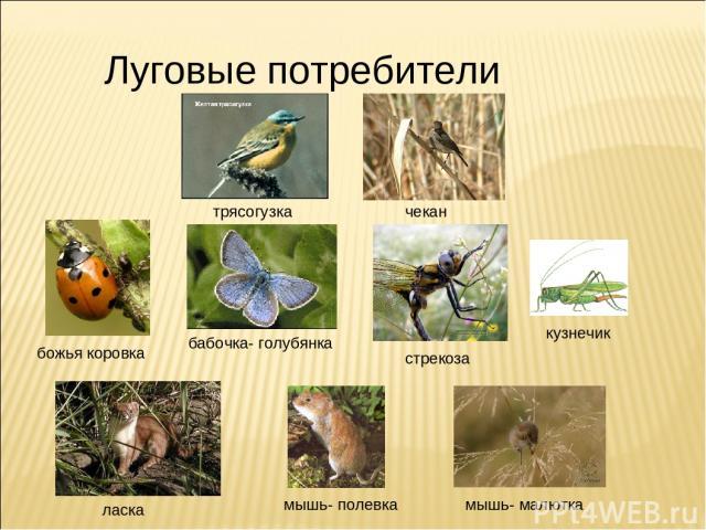 Луговые потребители бабочка- голубянка стрекоза мышь- малютка чекан божья коровка мышь- полевка трясогузка ласка кузнечик