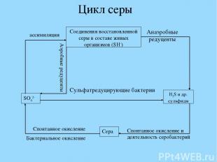 Цикл серы Сульфатредуцирующие бактерии