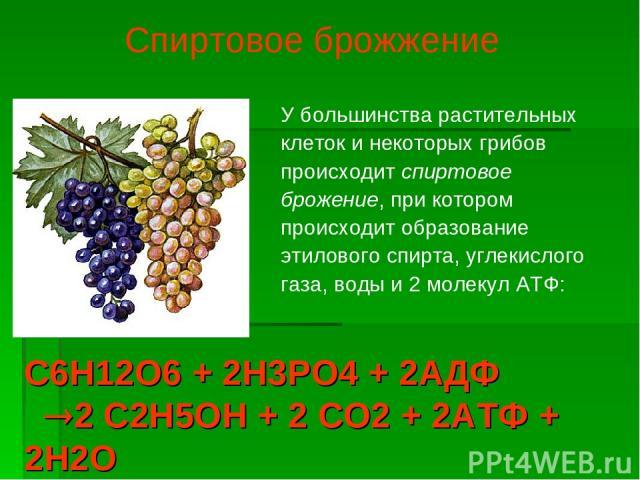 У большинства растительных клеток и некоторых грибов происходит спиртовое брожение, при котором происходит образование этилового спирта, углекислого газа, воды и 2 молекул АТФ: Спиртовое брожжение С6Н12О6 + 2Н3РО4 + 2АДФ 2 С2Н5ОН + 2 СО2 + 2АТФ + 2Н2О