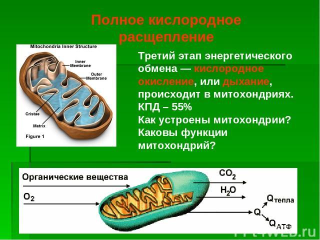 Третий этап энергетического обмена — кислородное окисление, или дыхание, происходит в митохондриях. КПД – 55% Как устроены митохондрии? Каковы функции митохондрий? Полное кислородное расщепление