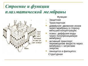 Строение и функции плазматической мембраны Функции Защитная Транспортная диффузи