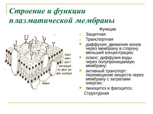 Строение и функции плазматической мембраны Функции Защитная Транспортная диффузия: движение ионов через мембрану в сторону меньшей концентрации; осмос: диффузия воды через полупроницаемую мембрану; активный транспорт: перемещение веществ через мембр…