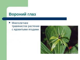 Вороний глаз Многолетнее травянистое растение с ядовитыми ягодами.