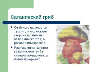 Сатанинский гриб От белого отличается тем, что у них нижняя сторона шляпки не бе