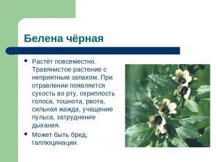Белена чёрная Растёт повсеместно. Травянистое растение с неприятным запахом. При