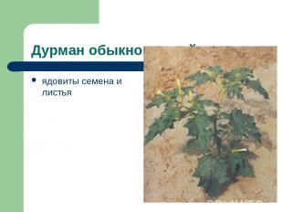 Дурман обыкновенный ядовиты семена и листья