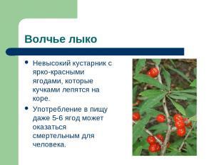 Волчье лыко Невысокий кустарник с ярко-красными ягодами, которые кучками лепятся