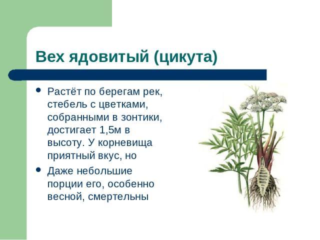 Вех ядовитый (цикута) Растёт по берегам рек, стебель с цветками, собранными в зонтики, достигает 1,5м в высоту. У корневища приятный вкус, но Даже небольшие порции его, особенно весной, смертельны