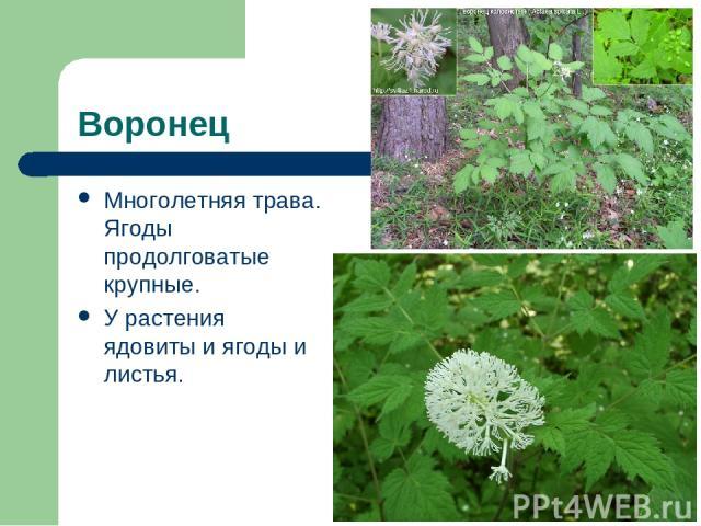 Воронец Многолетняя трава. Ягоды продолговатые крупные. У растения ядовиты и ягоды и листья.