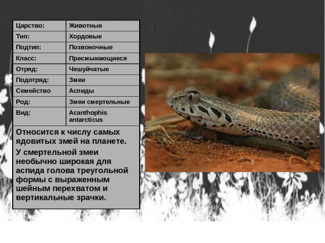 Царство: Животные Тип: Хордовые Подтип: Позвоночные Класс: Пресмыкающиеся Отряд: Чешуйчатые Подотряд: Змеи Семейство Аспиды Род: Змеи смертельные Вид: Acanthophis antarcticus Относится к числу самых ядовитых змей на планете. У смертельной змеи необы…