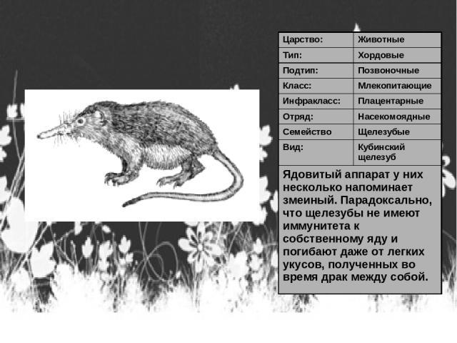 Царство: Животные Тип: Хордовые Подтип: Позвоночные Класс: Млекопитающие Инфракласс: Плацентарные Отряд: Насекомоядные Семейство Щелезубые Вид: Кубинский щелезуб Ядовитый аппарат у них несколько напоминает змеиный. Парадоксально, что щелезубы не име…