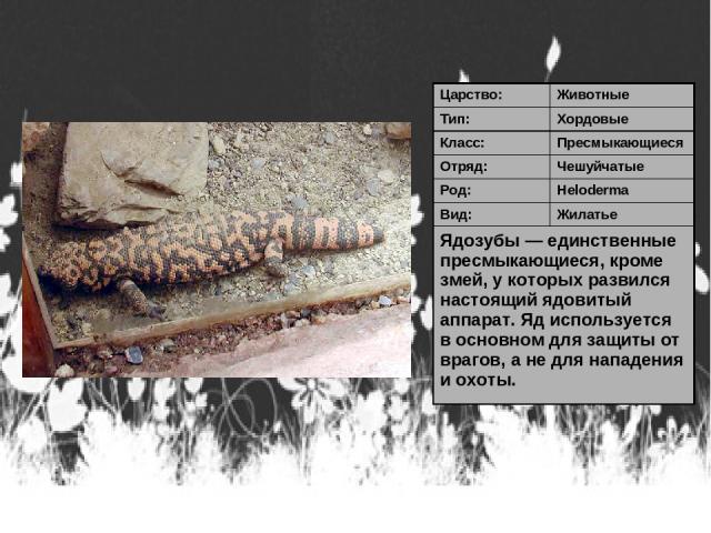 Царство: Животные Тип: Хордовые Класс: Пресмыкающиеся Отряд: Чешуйчатые Род: Heloderma Вид: Жилатье Ядозубы — единственные пресмыкающиеся, кроме змей, у которых развился настоящий ядовитый аппарат. Яд используется в основном для защиты от врагов, а …