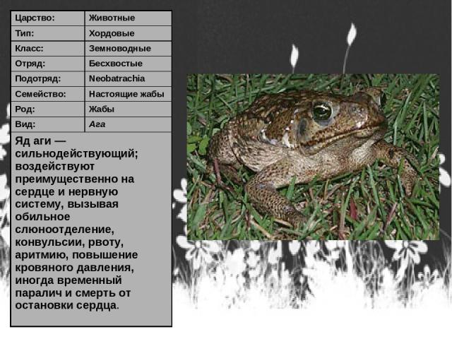 Царство: Животные Тип: Хордовые Класс: Земноводные Отряд: Бесхвостые Подотряд: Neobatrachia Семейство: Настоящие жабы Род: Жабы Вид: Ага Яд аги — сильнодействующий; воздействуют преимущественно на сердце и нервную систему, вызывая обильное слюноотде…
