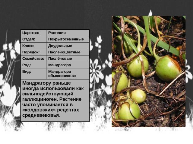Царство: Растения Отдел: Покрытосеменные Класс: Двудольные Порядок: Паслёноцветные Семейство: Паслёновые Род: Мандрагора Вид: Мандрагора обыкновенная Мандрагору раньше иногда использовали как сильнодействующий галлюциноген. Растение часто упоминаетс…