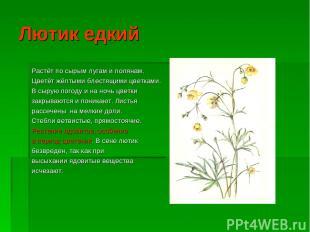 Лютик едкий Растёт по сырым лугам и полянам. Цветёт жёлтыми блестящими цветками.
