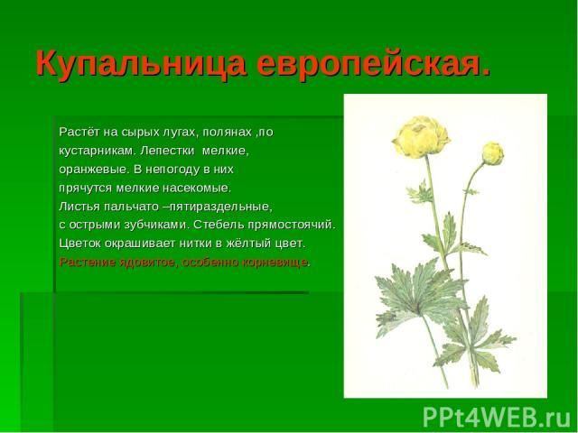 Купальница европейская. Растёт на сырых лугах, полянах ,по кустарникам. Лепестки мелкие, оранжевые. В непогоду в них прячутся мелкие насекомые. Листья пальчато –пятираздельные, с острыми зубчиками. Стебель прямостоячий. Цветок окрашивает нитки в жёл…