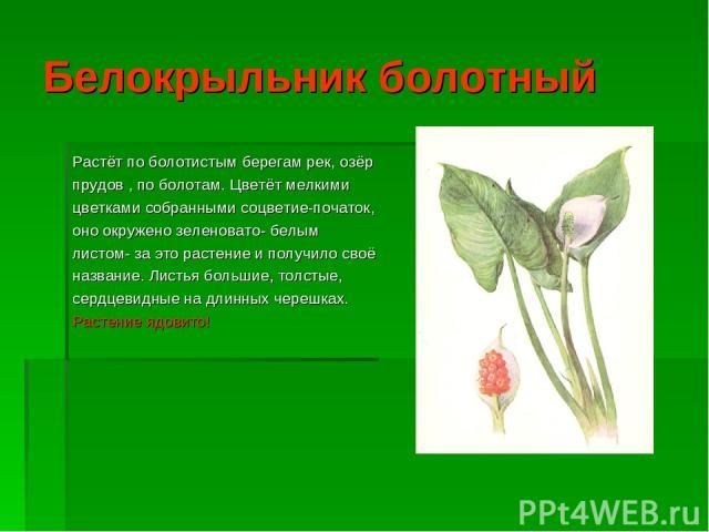 Белокрыльник болотный Растёт по болотистым берегам рек, озёр прудов , по болотам. Цветёт мелкими цветками собранными соцветие-початок, оно окружено зеленовато- белым листом- за это растение и получило своё название. Листья большие, толстые, сердцеви…