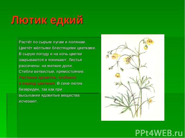 Лютик едкий Растёт по сырым лугам и полянам. Цветёт жёлтыми блестящими цветками. В сырую погоду и на ночь цветки закрываются и поникают. Листья рассечены на мелкие доли. Стебли ветвистые, прямостоячие. Растение ядовитое, особенно в период цветения. …