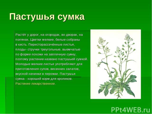 Пастушья сумка Растёт у дорог, на огородах, во дворах, на полянах. Цветки мелкие, белые собраны в кисть. Перисторассечённые листья, плоды- стручки треугольные, выемчатые по форме похожи на заплечную сумку, поэтому растение названо пастушьей сумкой. …