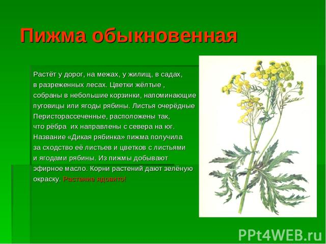 Пижма обыкновенная Растёт у дорог, на межах, у жилищ, в садах, в разреженных лесах. Цветки жёлтые , собраны в небольшие корзинки, напоминающие пуговицы или ягоды рябины. Листья очерёдные Перисторассеченные, расположены так, что рёбра их направлены с…