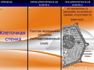 Клеточная стенка Толстая муреиновая оболочка (пептидогликановый слой) Клеточная