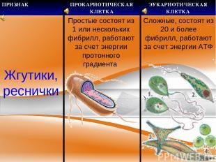 Жгутики, реснички Простые состоят из 1 или нескольких фибрилл, работают за счет