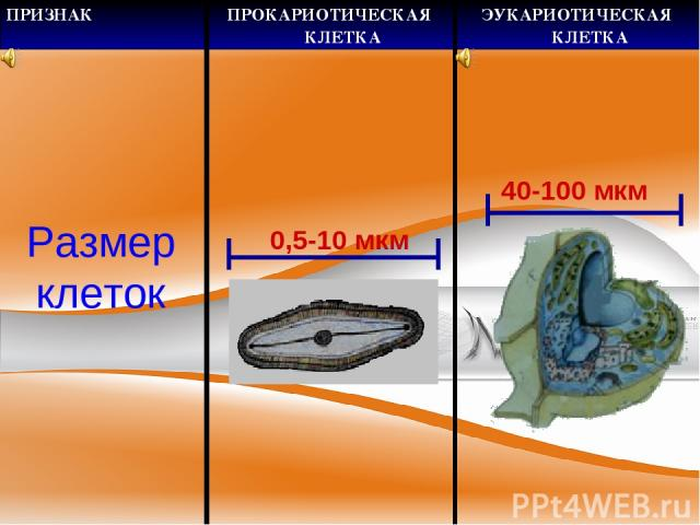 Размер клеток 0,5-10 мкм 40-100 мкм ПРИЗНАК ПРОКАРИОТИЧЕСКАЯ КЛЕТКА ЭУКАРИОТИЧЕСКАЯ КЛЕТКА