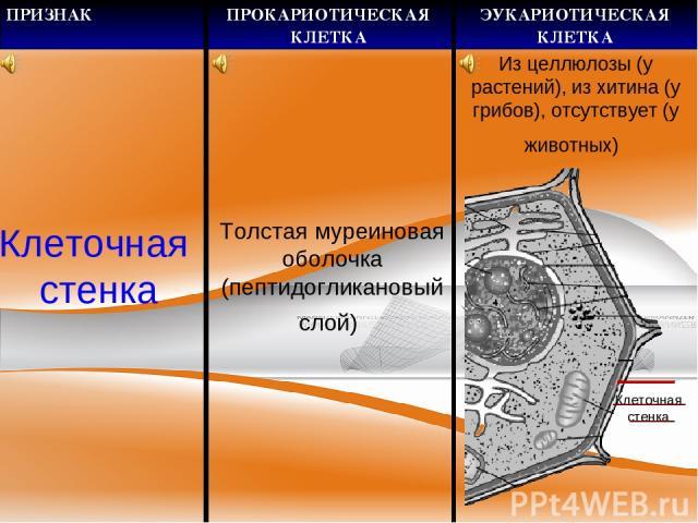 Клеточная стенка Толстая муреиновая оболочка (пептидогликановый слой) Клеточная стенка Из целлюлозы (у растений), из хитина (у грибов), отсутствует (у животных) ПРИЗНАК ПРОКАРИОТИЧЕСКАЯ КЛЕТКА ЭУКАРИОТИЧЕСКАЯ КЛЕТКА