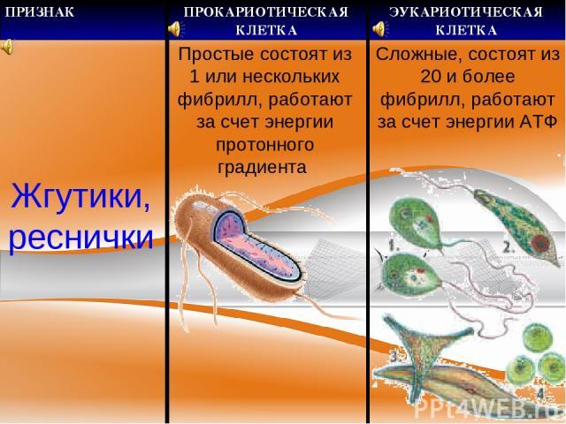 Жгутики, реснички Простые состоят из 1 или нескольких фибрилл, работают за счет энергии протонного градиента Сложные, состоят из 20 и более фибрилл, работают за счет энергии АТФ ПРИЗНАК ПРОКАРИОТИЧЕСКАЯ КЛЕТКА ЭУКАРИОТИЧЕСКАЯ КЛЕТКА